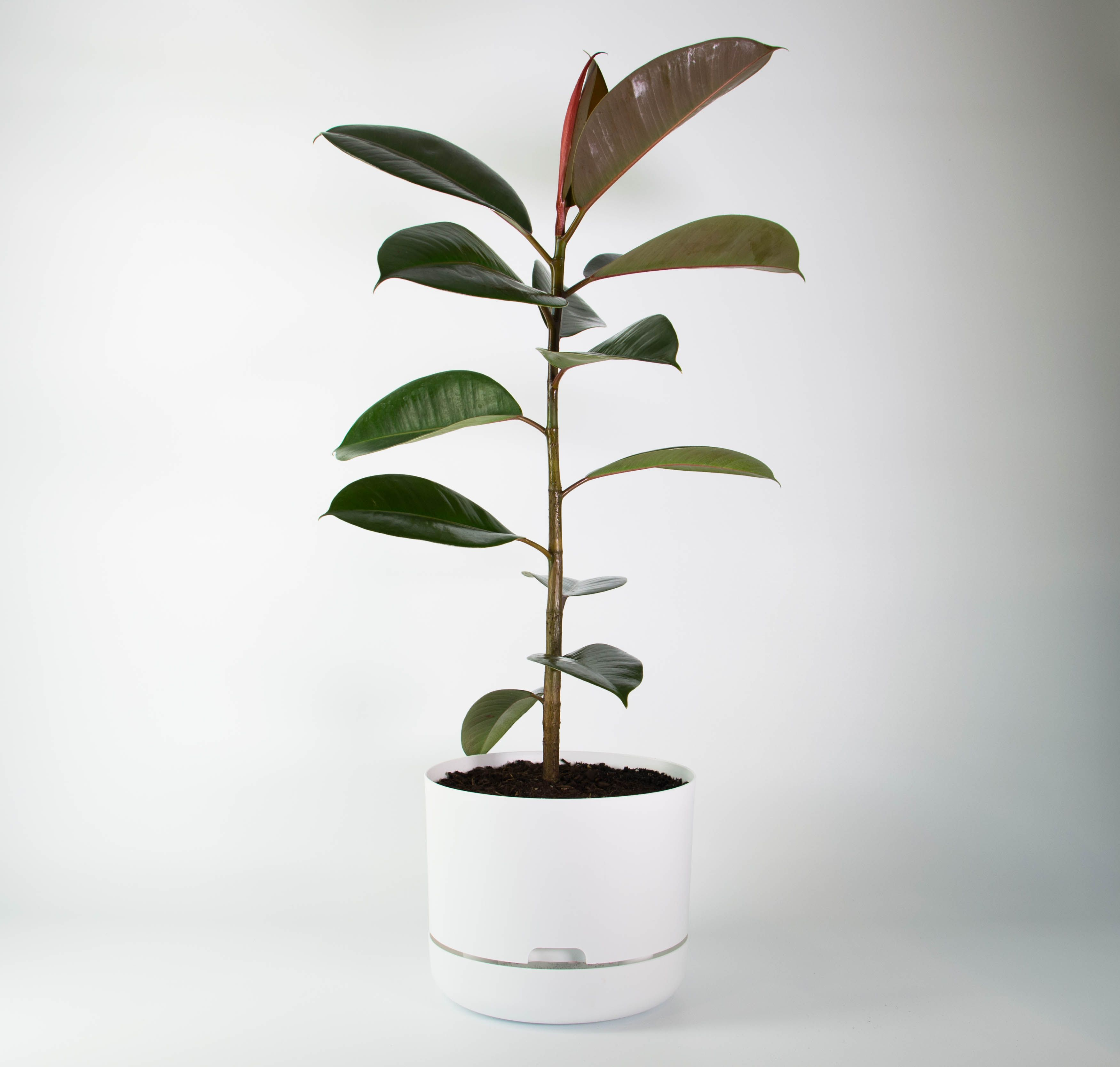 Nice Tall, Dark And Handsome, This Rubber Tree   Perhaps The Perfect Indoor Plant
