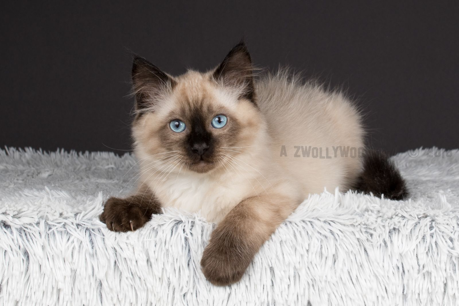 2016 Dino A Zwollywood Cat 12 Weeks Old Ragdoll Kitten Seal Colourpoint From The Flintstones Litter
