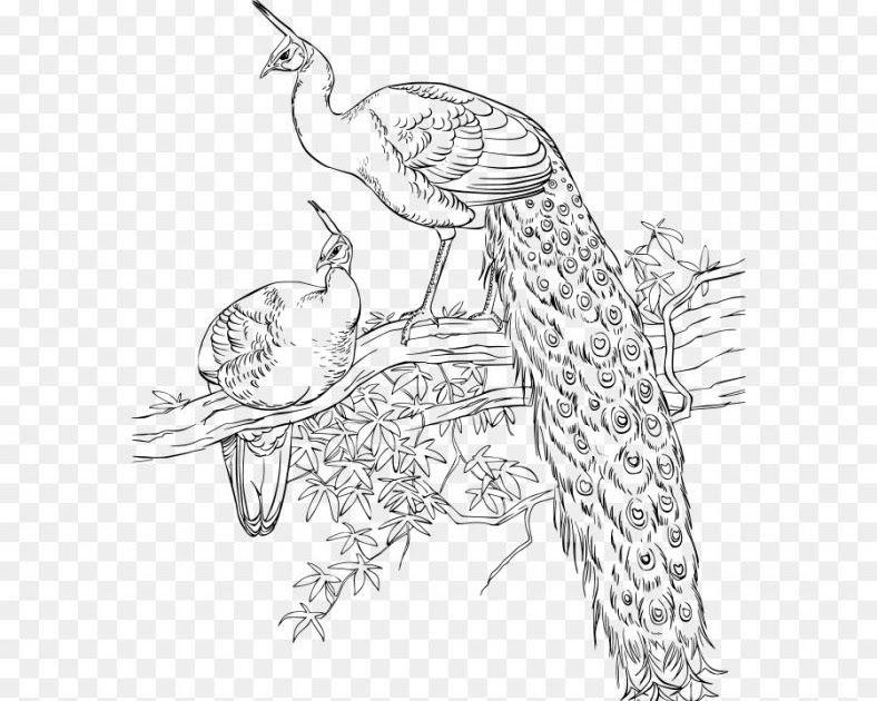 Menakjubkan 14 Gambar Burung Merak Kartun Di 2020 Sketsa