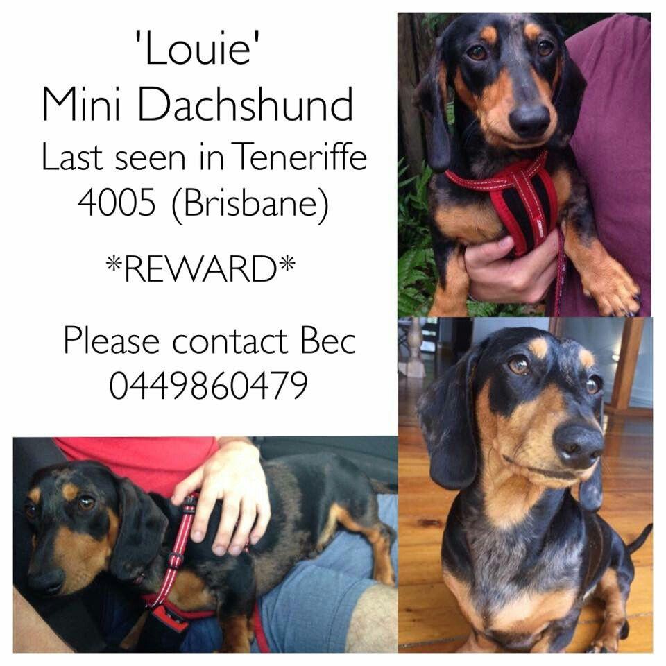 Stolen Dachshund Sausage Dog Missing Queensland Australia Brisbane
