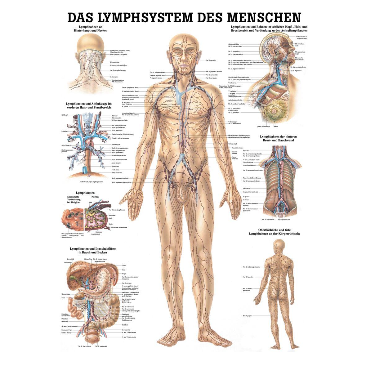 Anatomische Lehrtafel - das Lymphsystem des Menschen.jpg (1180×1180 ...