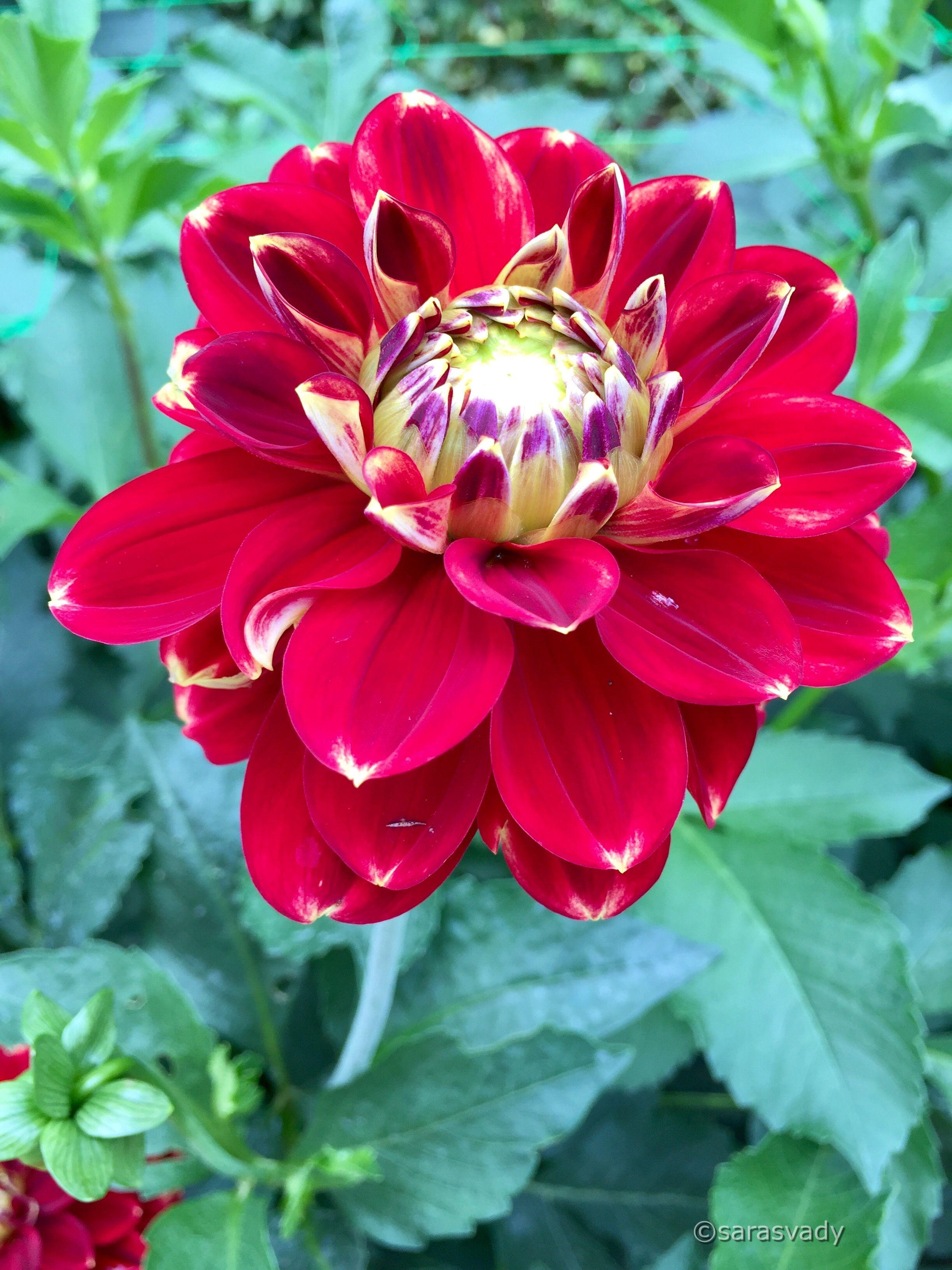Kadupul Flower Rare flowers, Expensive flowers, Types of