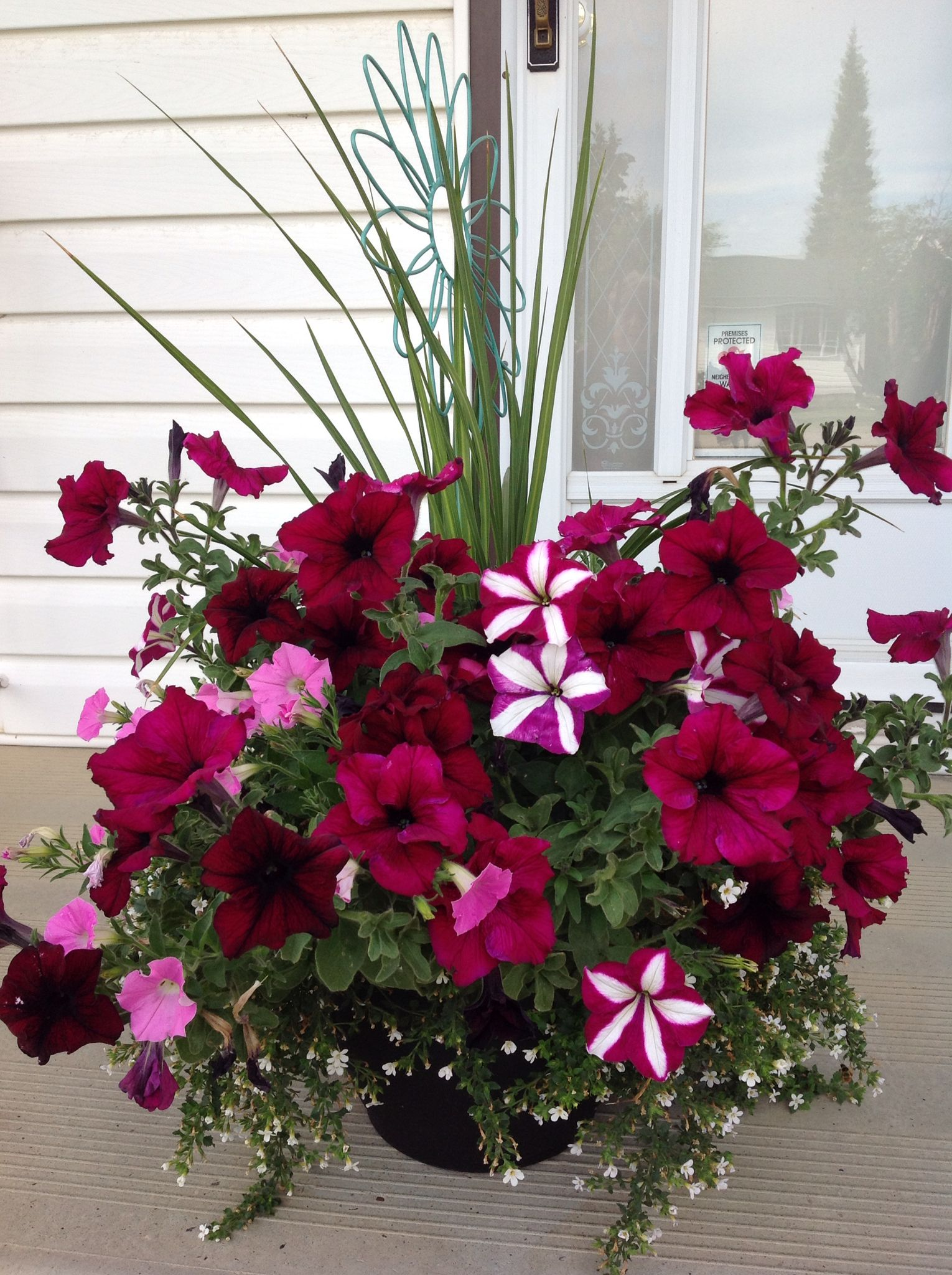 Variety of Petunias in Container