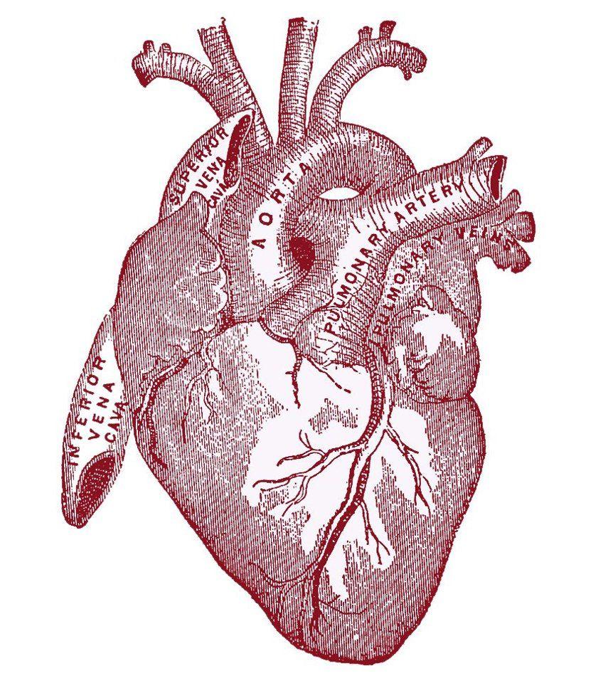 vintage graphic image - anatomy heart   paper print outs ephemera