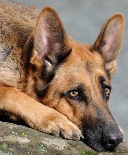 I'm bored. Shepherd dog, Malinois dog, Belgian malinois dog