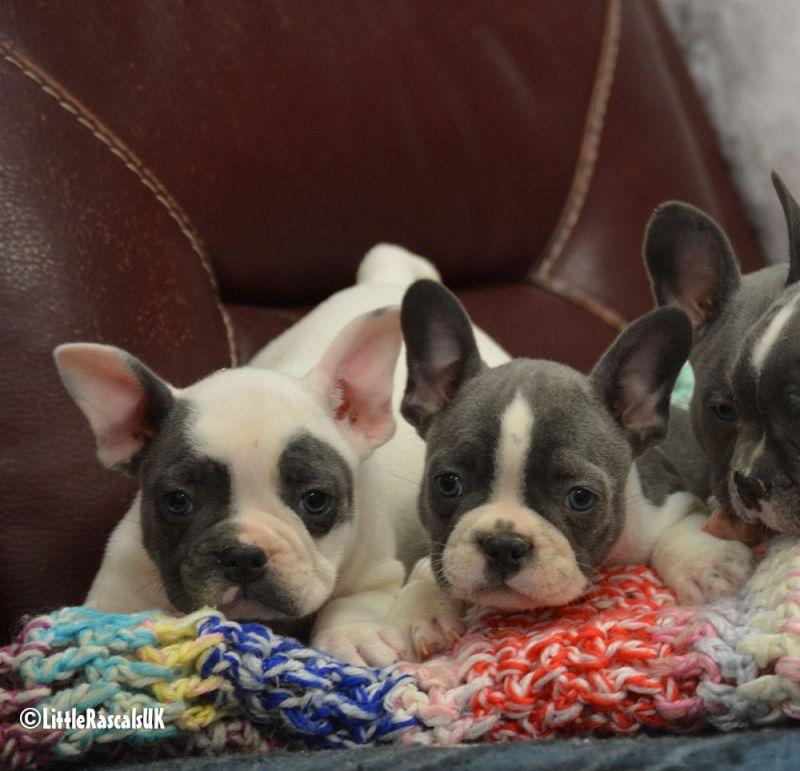 Dsc_0965 french bulldog puppies bulldog puppies puppies