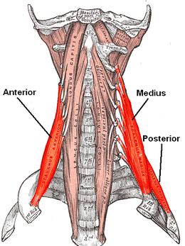 muscoli scaleni - Cerca con Google