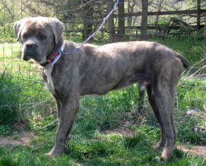 Adopt Bruno on Corso dog, Cane corso, Mastiff dogs