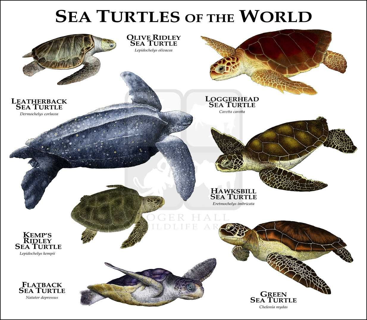 sea turtles art fine art print | species list | pinterest | turtle
