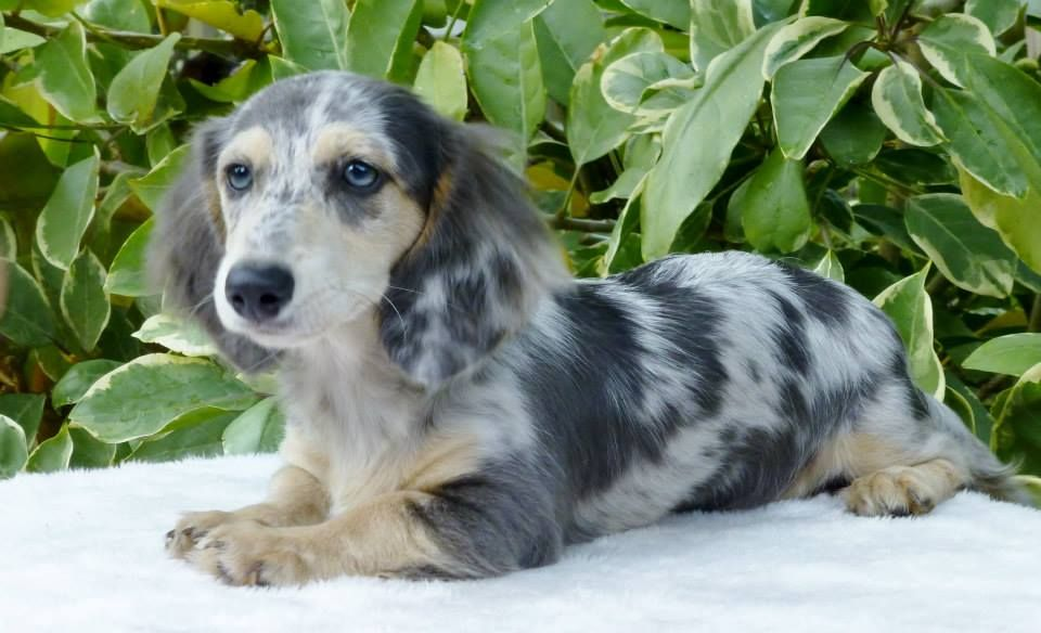 Past Puppies Dachshund Breed Dapple Dachshund Dachshund