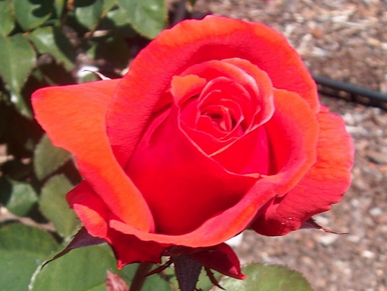 Top 10 Best Fragrant Roses in the World