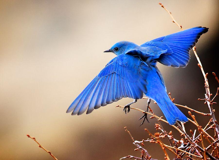 41  Bluebird Wallpaper, HD Bluebird Wallpapers and Photos | View ...