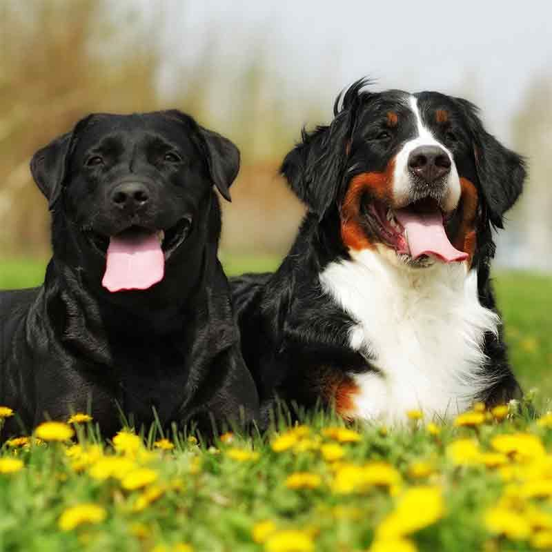 Labernese A Guide To The Bernese Mountain Dog Lab Mix Lab Dogs