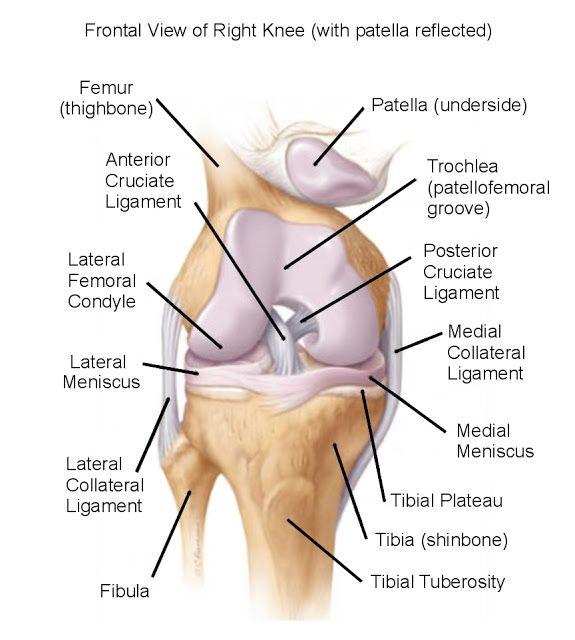 DIAGRAMS: Frontal View Knee anatomy diagram | NICE POST | Pinterest ...