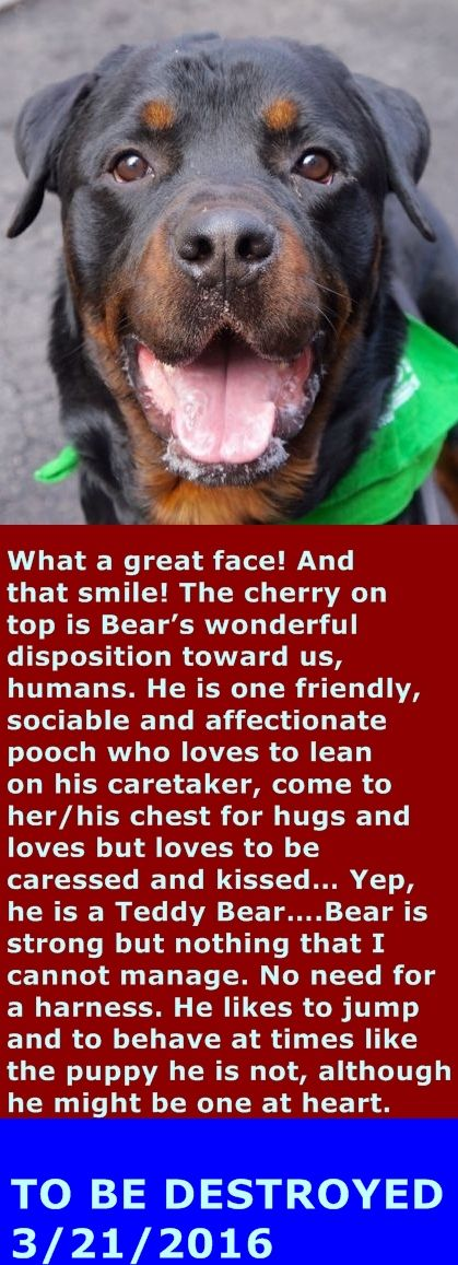 SAFE 3-21-2016 by Imagine Pet Rescue --- Manhattan Center = P  My name is BEAR. My Animal ID # is A1067624. I am a male black and brown rottweiler mix. The shelter thinks I am about 3 YEARS old.  I came in the shelter as a STRAY on 03/15/2016 from NY 10301, owner surrender reason stated was STRAY. http://nycdogs.urgentpodr.org/bear-a1067624/