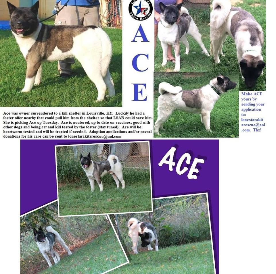 Ace is patiently waiting for his furever home. Akita