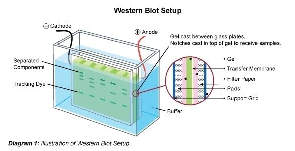 Western Blotting Immunoblot Science Humor Membrane Westerns