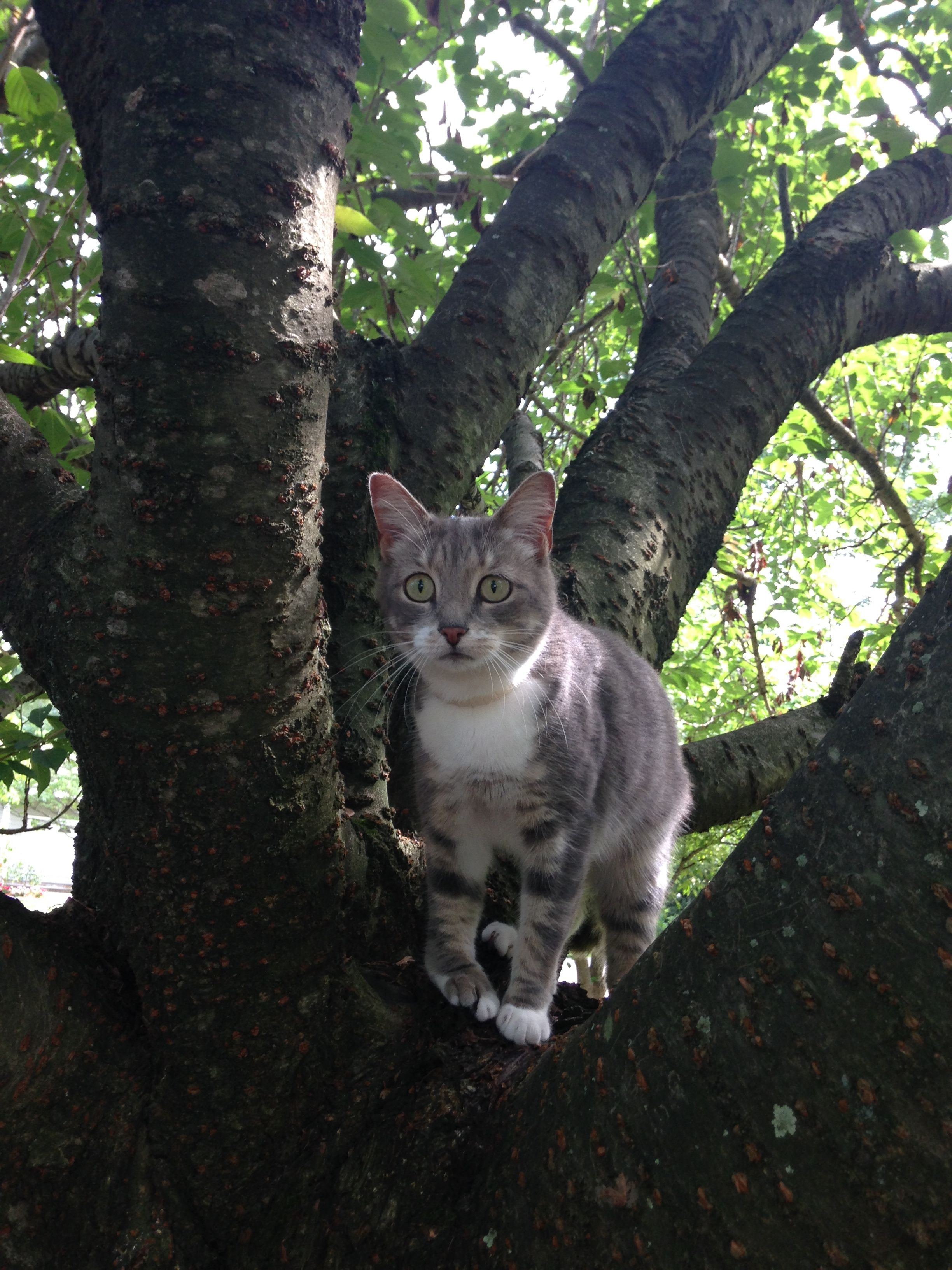 Mitzi is a small adult female. She is grey and white, has