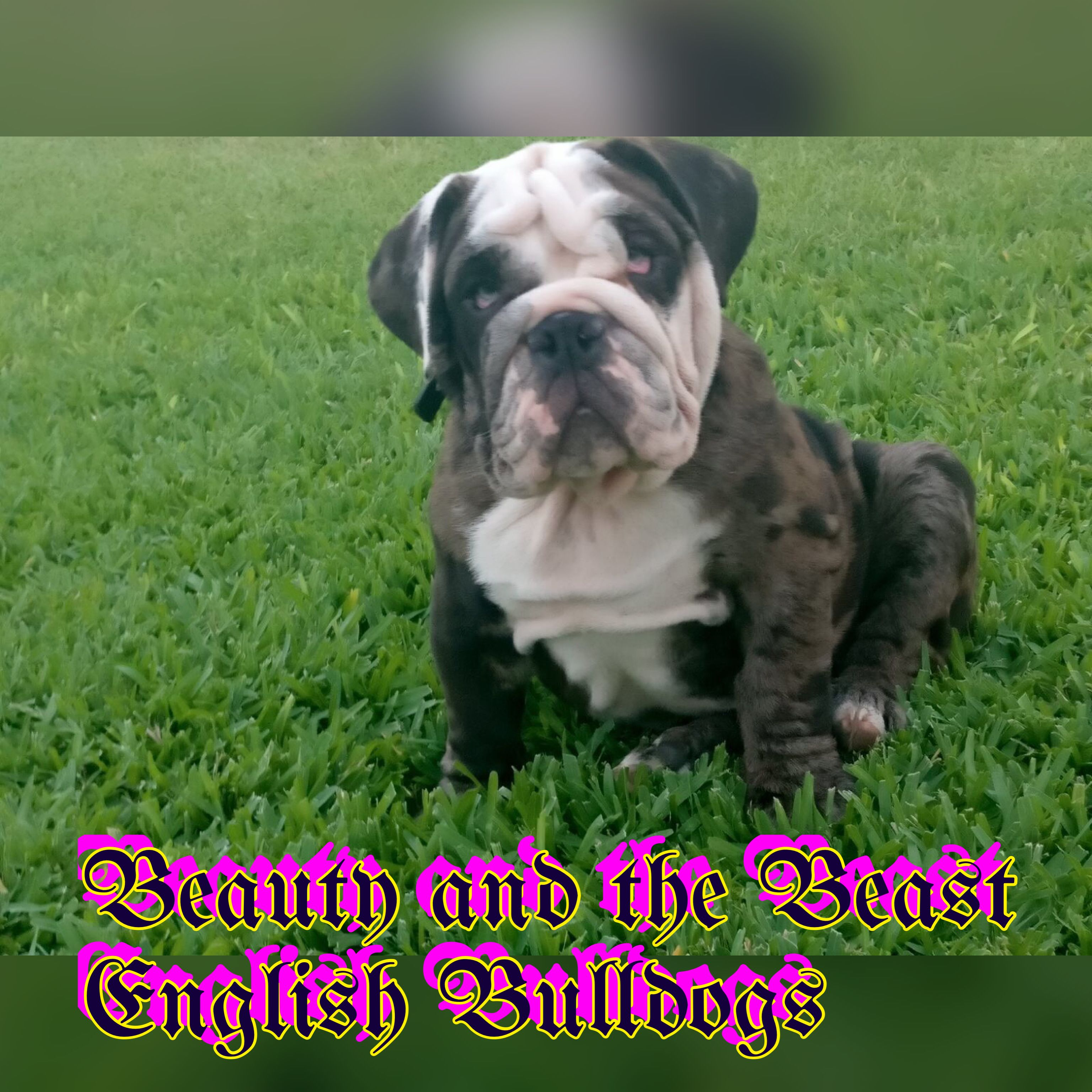 Pin By Beauty And The Beast Kennel S On My Bulldogs Dogs