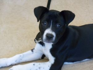 Adopt Dixie Rose on Dogs, kids, Dogs, Boxer mix