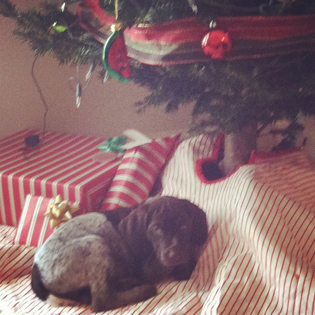 Our little GSP Christmas present