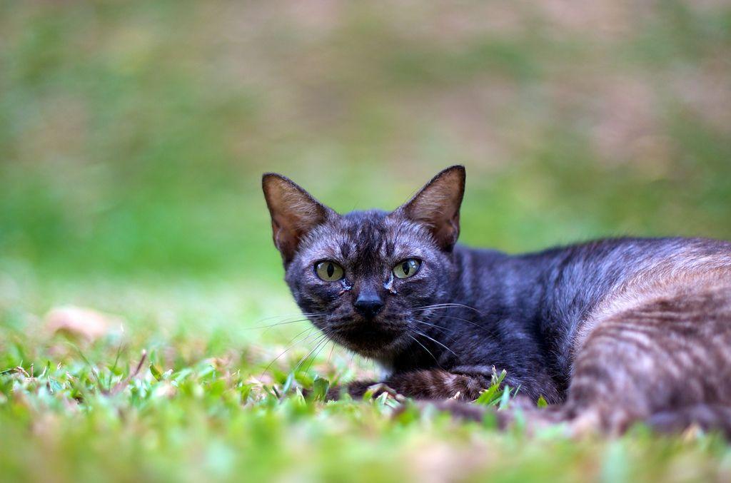 fierce cat.