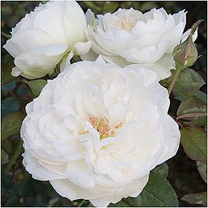 Bolero Floribunda Rose Finally A Pure White Romantica The Smallest Rose In Size To Be Introduced Into The Fa Fragrant Roses Planting Roses Floribunda Roses