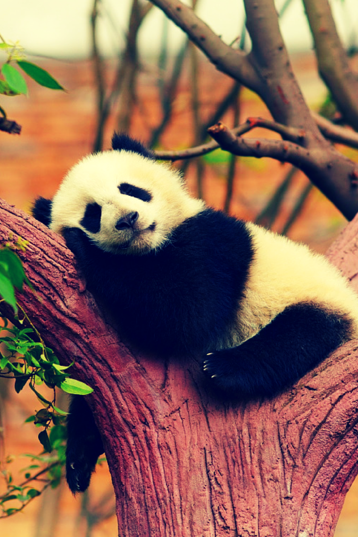 Panda Bear, China   Easy Planet Travel - World travel made ... - photo#47