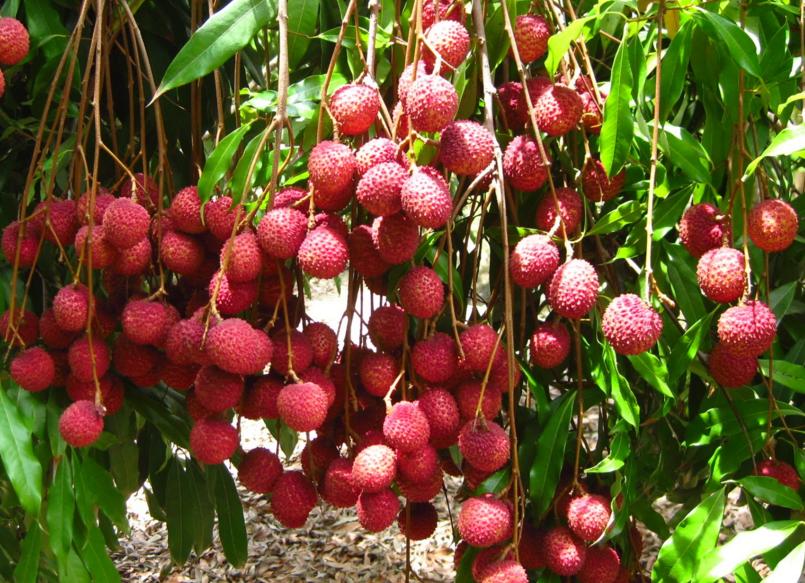 6 Langkah Mudah Cara Budidaya Leci Buah Harum Dan Manis Harga Jual Tinggi Buah Tanaman Pohon Buah