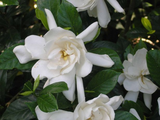 The Gardenia Is Native To China And Japan Hardy To Zone 7 It S Valued Not Only For Its Wonderful Fragrance But Winter Garden Garden Shrubs Plants