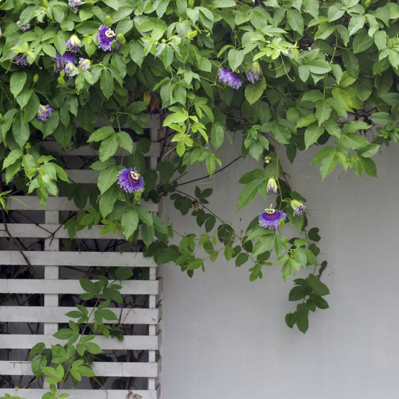 Passion Vines Are Tropical To Semitropical Flowering And Fruiting Plants That Need Pruning And Training By Th Flowering Vines Passion Vine Passion Flower Plant