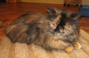Adopt Anna On Persian Cat Cats Cats And Kittens