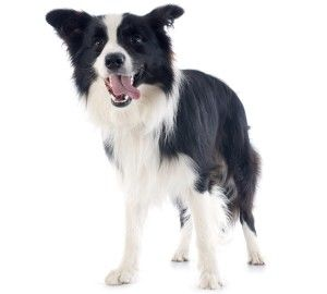 Border Collies Were Originally Used As Shepherding Dogs In The