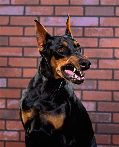 growling doberman - Ecosia   Doberman pinscher, Scary dogs ... - photo#1