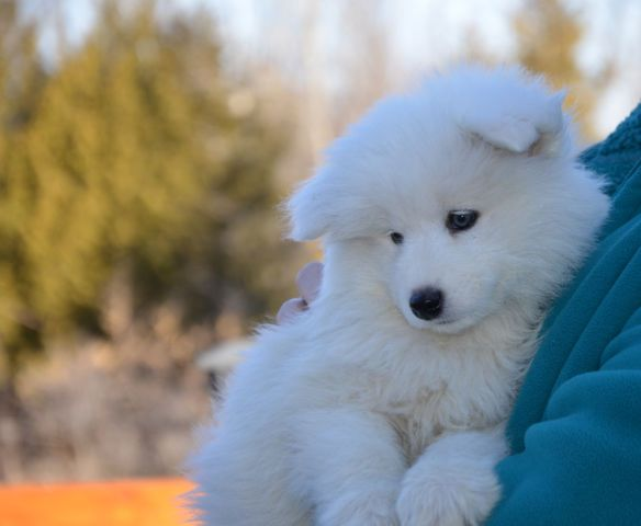 Samoyed Pure White Dogs Puppies For Sale Ottawa Kijiji