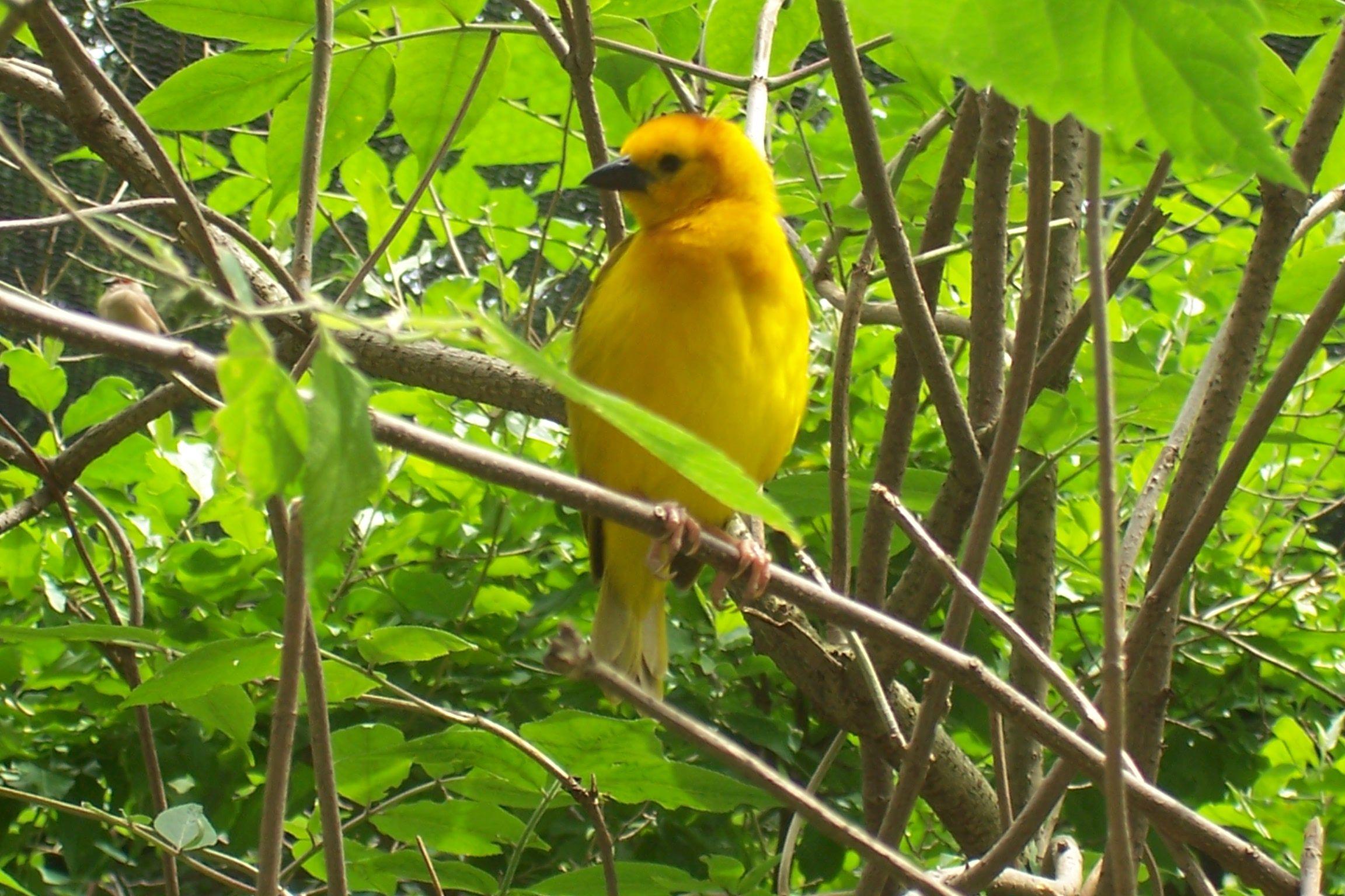 Yellow Bird Yellow Bird High Up In Banana Tree Yellow Bird