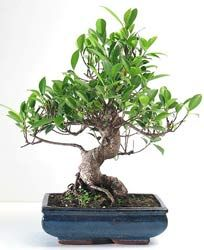 Bonsai Ficus De Indias Laurel