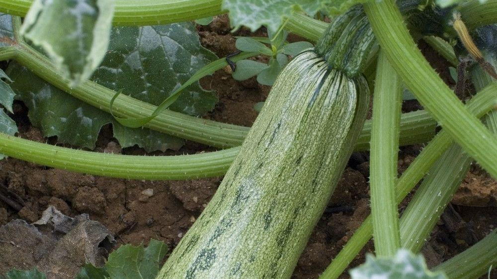 Quand planter les tomates et autres légumes du soleil