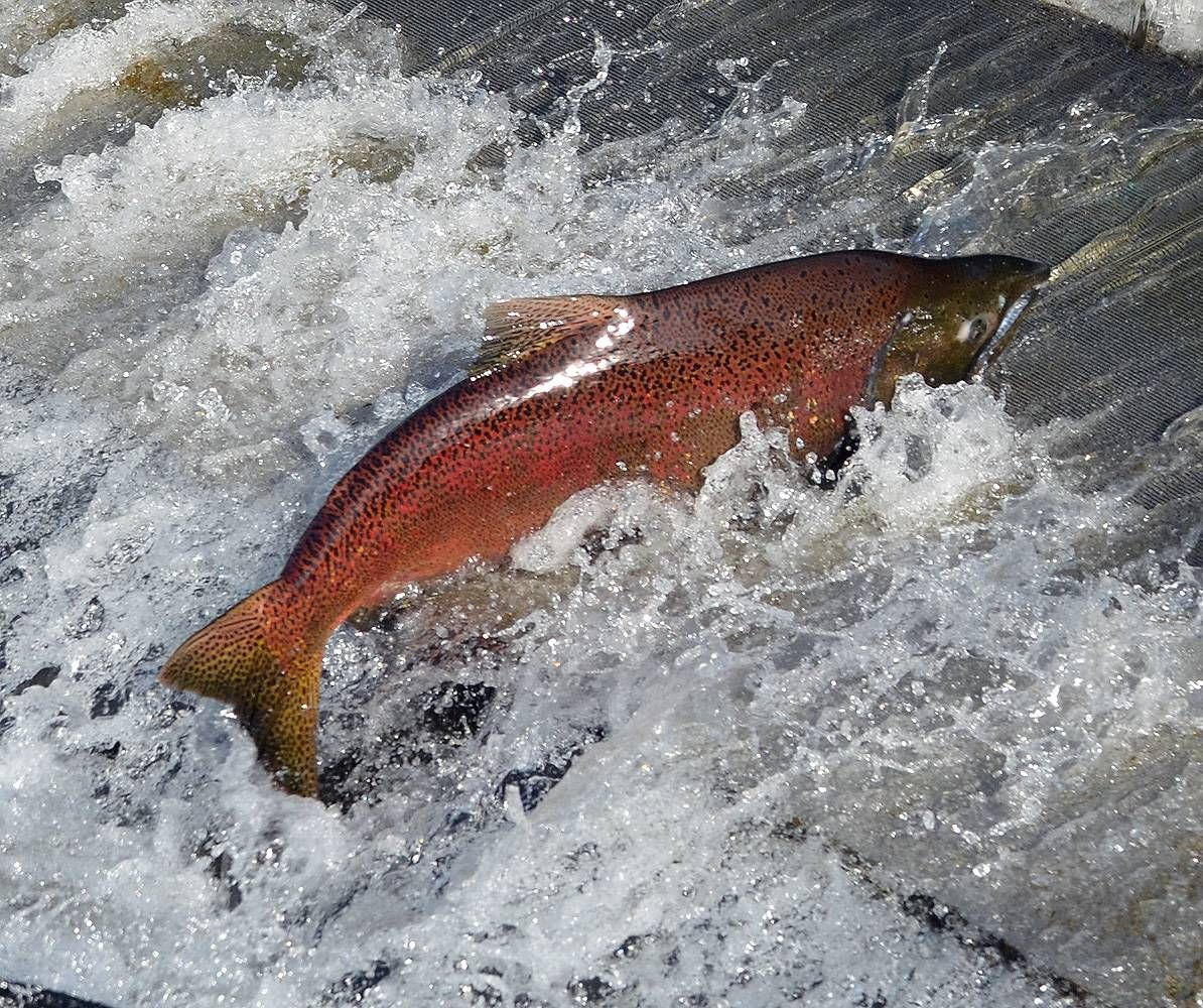 Chinook salmon oncorhynchus tshawytscha tropical fish for Salmon fish pictures
