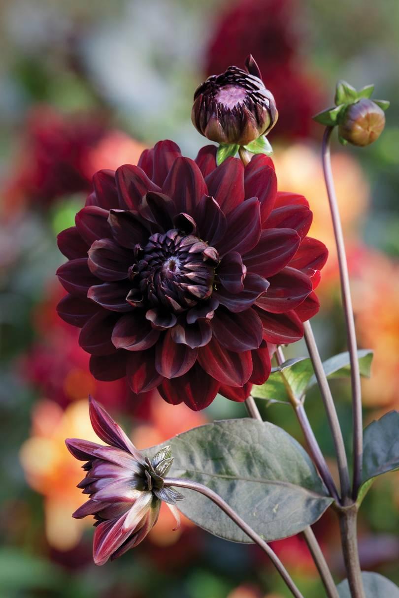 How to plant and grow dahlia tubers | House & Garden