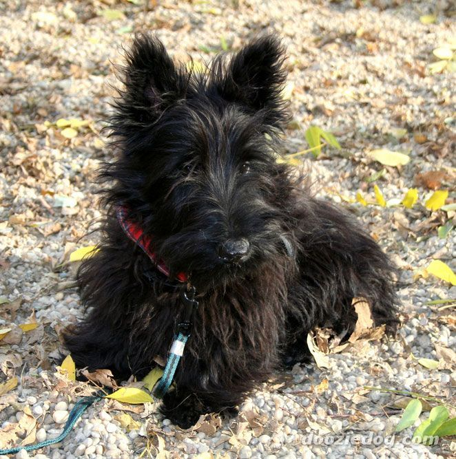 baby scottish terrier hugs for bushy scotties scottie love scottish terrier 9514