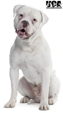 American Bulldog American Bulldog Dog Breeds American Bulldog