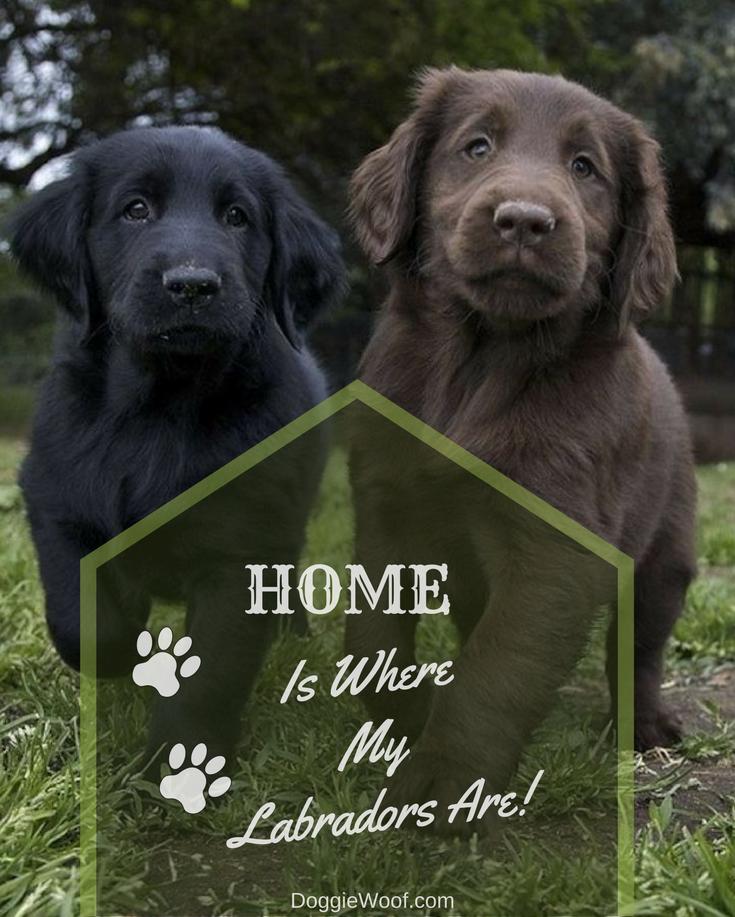 Labrador Retriever Intelligent And Fun Lovin Labrador Retriever