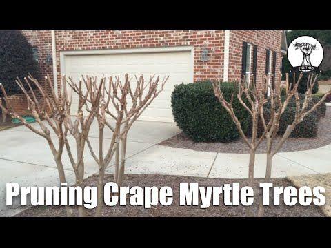 Crapemyrtle Pruning Walter Reeves The Georgia Gardener Crepe Myrtle Trees Crape Myrtle Georgia Gardening