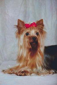How To Make Hair Bows For Dogs I Want A Yorkie Pinterest