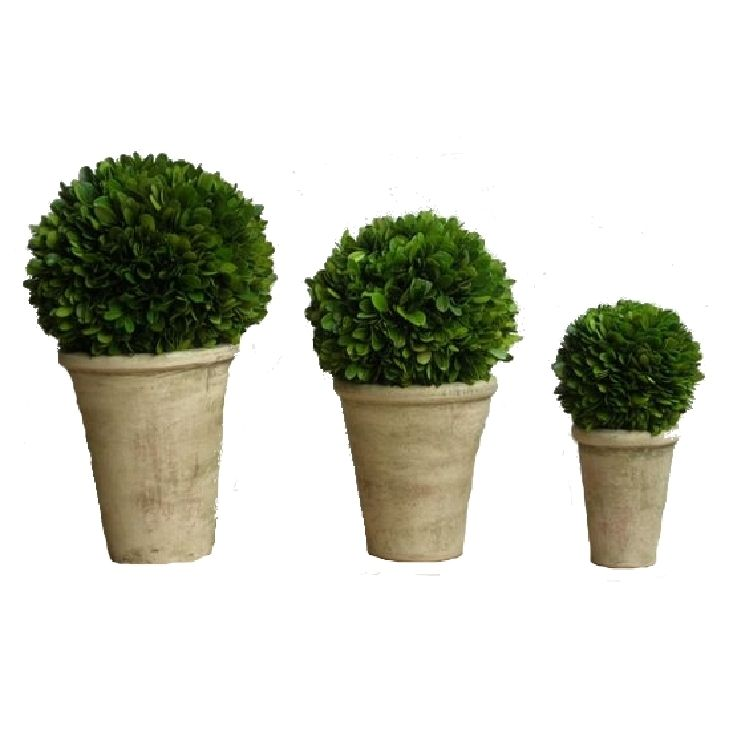 Preserved Boxwood Balls Potted Set Of 3 Pieces Preserved Boxwood Boxwood Topiary Preserved Boxwood Topiary