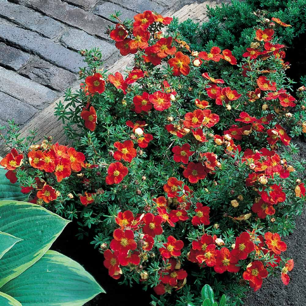 Image result for potentilla red ace Perennial garden