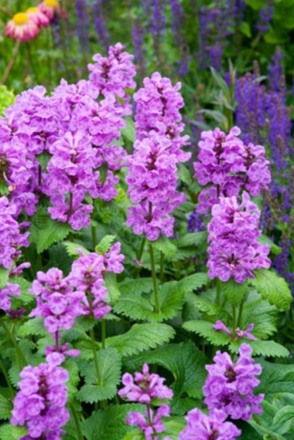 Noted for the spectacular display provided by its vivid flowers, Big Betony (Stachys macrantha) is a wonderful perennial featuring 2-3 whorls of vibrant, pink to purple, two-lipped flower spikes held above handsome mounds of soft, wrinkled, dark green leaves with scalloped edges