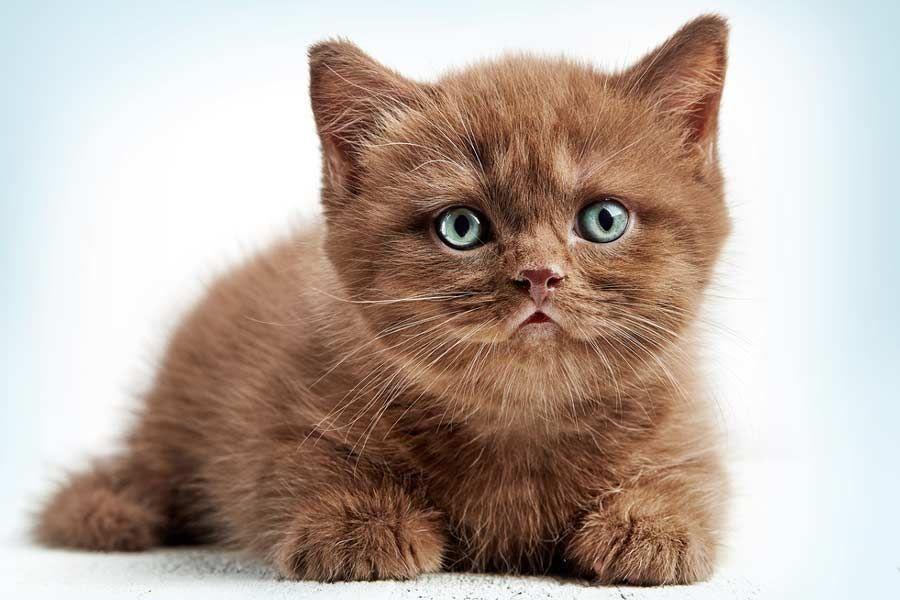 British Flat Faced Cat Fb Fluffycatsbreeds Cat Breeds Fluffy Cat Breeds Cat Breeds List