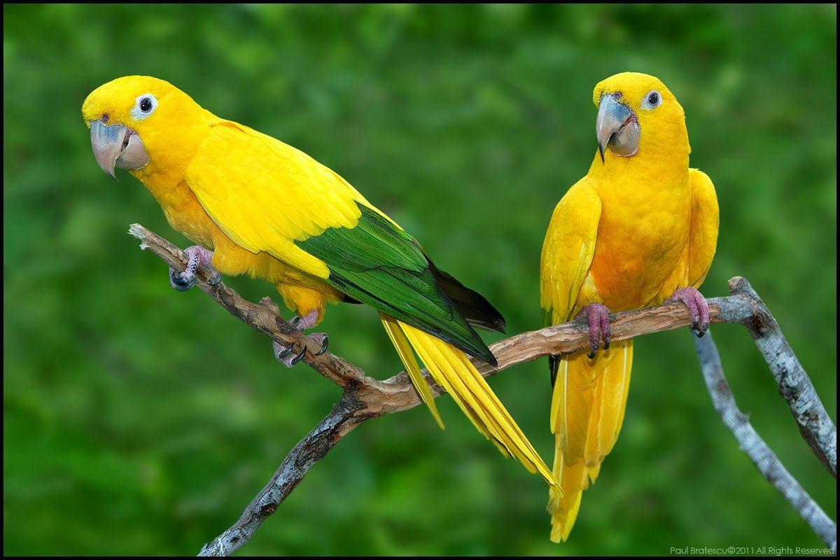 Golden Conure Parakeets Aves Exoticas Loros Aves Hermosas